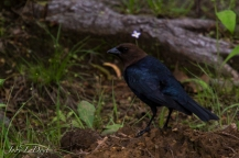 It's the Brown-headed Cowbird. Learn something new everyday.