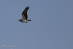 Osprey with dinner in his clutches being chased by a pair of orioles.