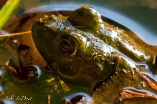The bullfrogs in the cove have been taunting us every time we go down there to find them. Finally, I found this guy hiding under some leaves. He must've thought his camo was working because he didn't move at all.