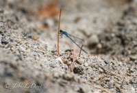 Damselflies are everywhere too. They grab on and hang out on anything.